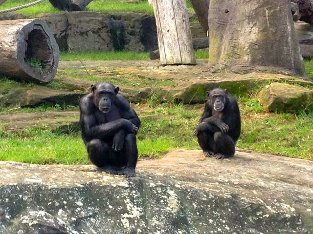 Some days, I feel the same, Chimps.