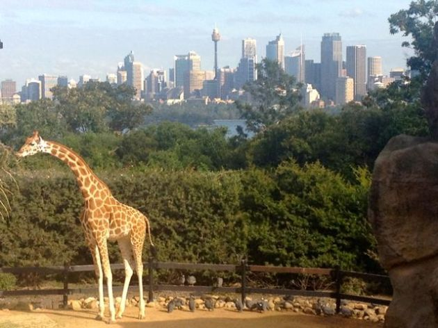 Now that's a meal with a view, lucky giraffe.