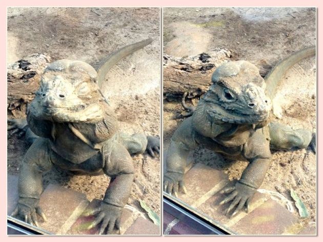 Such a poser - this Rhinoceros Iguana was really working it for the camera. Or the sun.