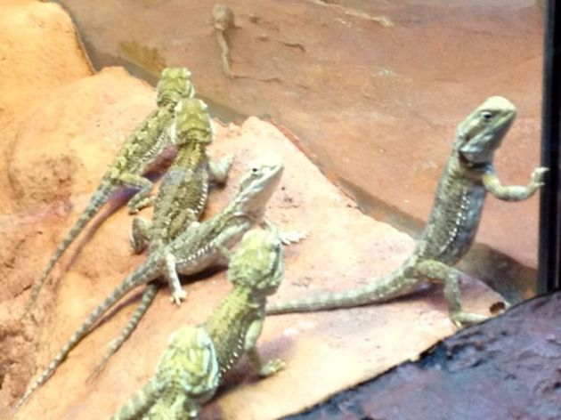 It's a bit blurry, but I like to think this Lawson's Bearded Dragon was trying to lead his mates in a daring escape attempt.