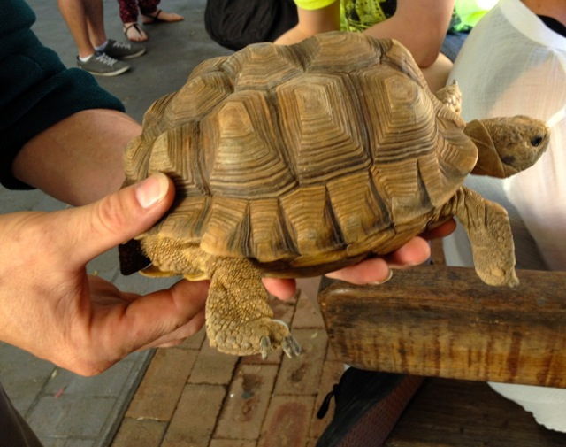 A tortoise (I think). Shows its age through the rings on its shell, like the rings on a tree trunk. Just in case you were wondering...
