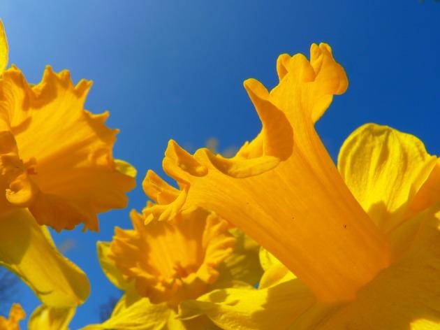 Springtime daffodil selfie. [image from Pixabay]