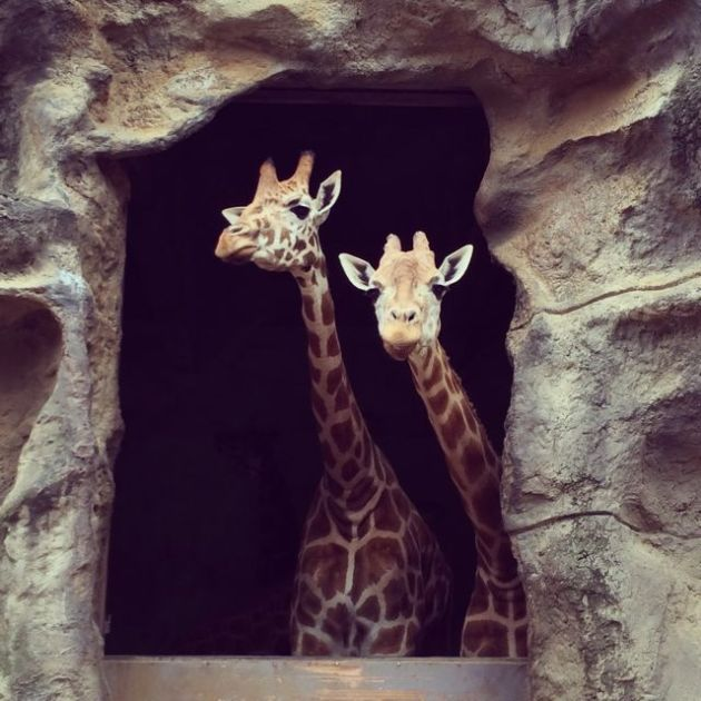 On another topic, here are two giraffes that my lovely niece Ella and I met at Roar and Snore on Sunday morning.