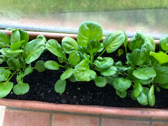 Looking good, spinach.