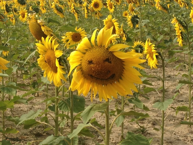 Fields of smiling sunflowers along The Way. Sometimes cute, sometimes very creepy.